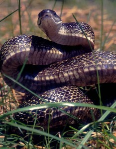 Black_rat_snake.sized_-233x300
